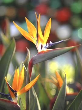 Paradisvogelblume  (Strelitzia reginae). Samenkarte