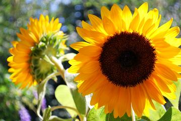 Titan Riesensonnenblume