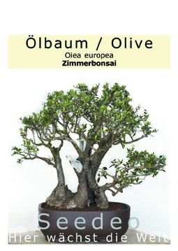 Ölbaum Bonsai