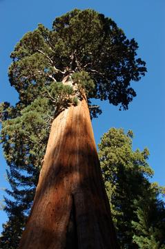 Bergmammutbaum 1