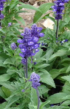 Lavendelsalbei Salvia lavandulafolia shop
