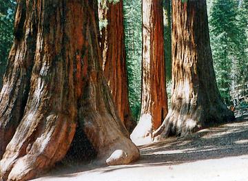 Bergmammutbaum