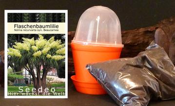 Flaschenbaumlilie