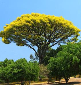 gelber Jacaranda Schizolobium excelsum Shop