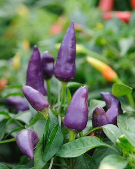 shop chili 39 the violet cables 39 capsicum annuum conoides. Black Bedroom Furniture Sets. Home Design Ideas