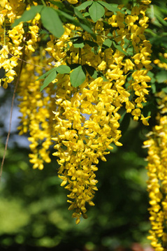 Goldregen (Laburnum anagyroides) Shop
