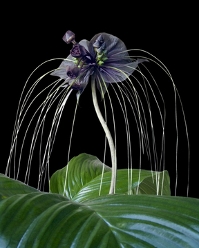 Fledermausblume (Tacca chantrieri)