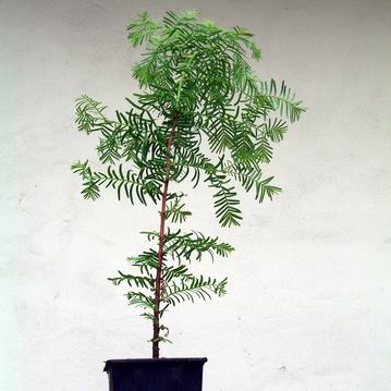 Urwelt Mammutbaum  (Metasequoia glyptostroboides) 3  Jahre