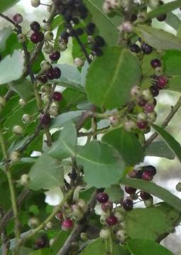 Mate Baum Ilex paraguariensis