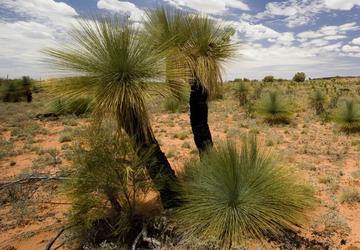 Australischer Grasbaum  Black Boy ( Xanthorroea fulva)