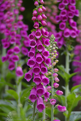 Roter Fingerhut digitalis purpurea shop