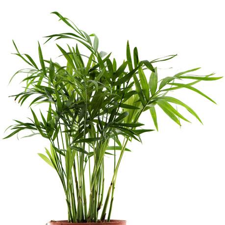 Bambuspalme  Chamaedorea seifrizii