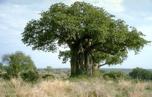 Affenbrotbaum (Adansonia digitata)