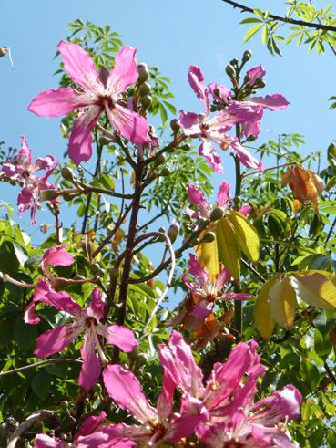 Brasilianischer Florettseidenbaum shop