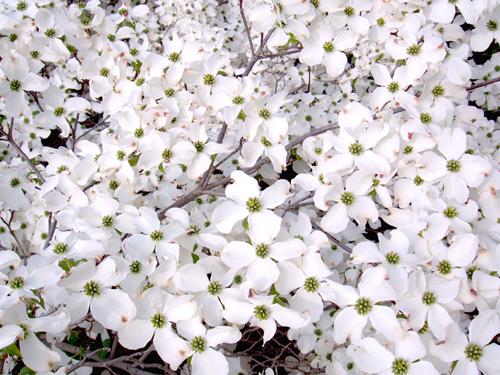 Asiatischer Blüten Hartriegel