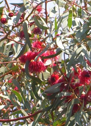 Weiser Eucalyptus (Eucalyptus leucoxylon rosea) Shop