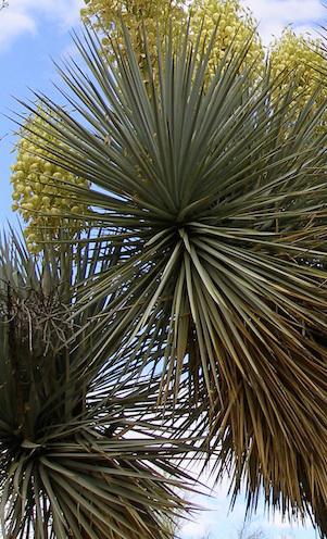 Blaue Palmlilie  yucca rigida