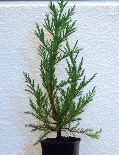 Berg   Mammutbaum Pflanze 3 Jahre Seedeo
