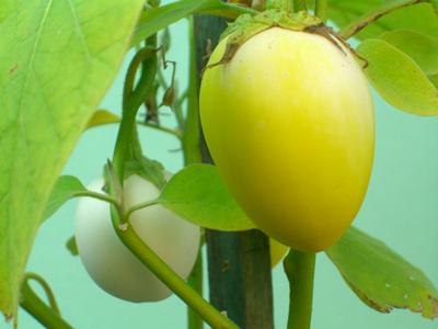 eierbaum Solanum melonga
