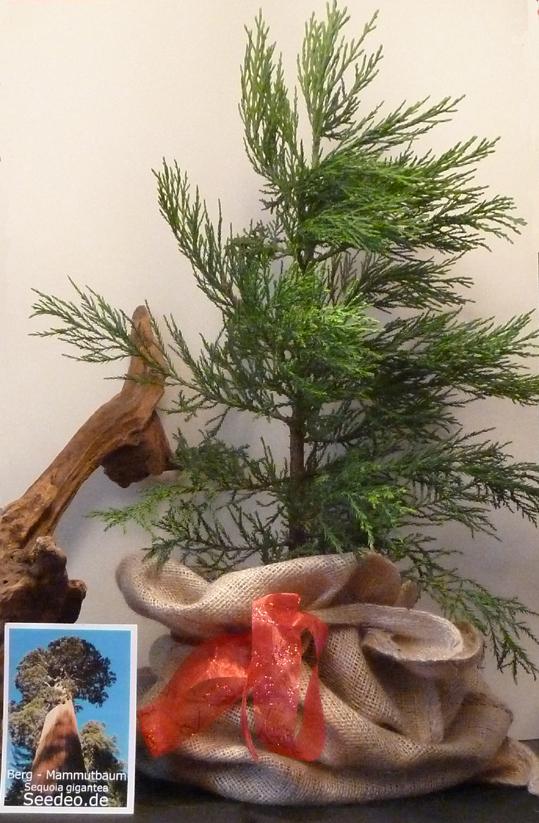 Berg   Mammutbaum 5 Jahre shop